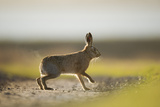 European Brown Hare (Lepus Europaeus) Male Pursuing a Female, Elmley Marshes, Kent, UK, February Photographic Print by Andrew Parkinson