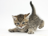 Cute Playful Tabby Kitten, Stanley, 6 Weeks Old Photographic Print by Mark Taylor