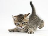 Cute Playful Tabby Kitten, Stanley, 6 Weeks Old Impressão fotográfica por Mark Taylor