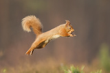 Red Squirrel (Sciurus Vulgaris) Jumping, Cairngorms National Park, Scotland, March 2012 Fotografisk tryk af Peter Cairns