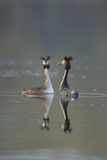 Great Crested Grebe (Podiceps Cristatus) Pair of Adults During Courtship Ritual, Derbyshire, UK Photographic Print by Andrew Parkinson