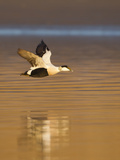 Eider (Somateria Mollissima) Male in Flight in Evening Light. Aberdeenshire, Scotland, UK, March Stampa fotografica di Mark Hamblin