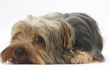 Yorkshire Terrier, Lying with Chin on the Floor Fotografie-Druck von Mark Taylor