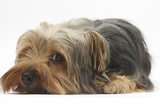 Yorkshire Terrier, Lying with Chin on the Floor Impressão fotográfica por Mark Taylor
