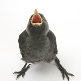 Baby Jackdaw (Corvus Monedula) Gaping to Be Fed Reproduction photographique par Mark Taylor