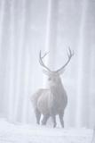 Red Deer (Cervus Elaphus) Stag in Pine Forest in Snow Blizzard, Cairngorms Np, Scotland, UK Fotografisk trykk av Peter Cairns