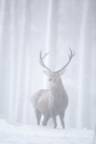 Red Deer (Cervus Elaphus) Stag in Pine Forest in Snow Blizzard, Cairngorms Np, Scotland, UK Fotografie-Druck von Peter Cairns
