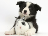 Black and White Border Collie Puppy and Baby Bunny Fotografisk tryk af Mark Taylor