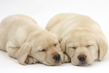 Sleeping Yellow Labrador Retriever Puppies, 8 Weeks Photographic Print by Mark Taylor