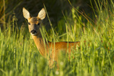 Portrait of a Roe Deer (Capreolus Capreolus) Doe in Rough Grassland in Summer, Scotland, UK, June Stampa fotografica di Mark Hamblin