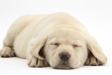 Sleeping Yellow Labrador Retriever Pup, 8 Weeks Photographic Print by Mark Taylor