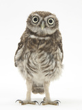 Portrait of a Young Little Owl (Athene Noctua) Fotoprint van Mark Taylor