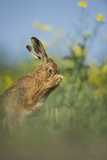 European Brown Hare (Lepus Europaeus) Adult Grooming Beside Field of Rapeseed, Cambridgeshire, UK Photographic Print by Andrew Parkinson