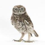Portrait of a Young Little Owl (Athene Noctua) Impressão fotográfica premium por Mark Taylor