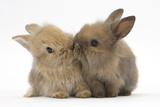 Two Baby Lionhead-Cross Rabbits, Touching Noses Lámina fotográfica por Mark Taylor