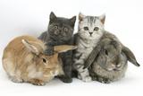 Grey Kitten and Silver Tabby Kitten with Sandy Lionhead-Cross and Agouti Lop Rabbits Impressão fotográfica por Mark Taylor
