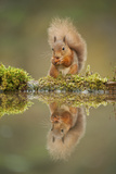 Red Squirrel (Sciurus Vulgaris) at Woodland Pool, Feeding on Nut, Scotland, UK, November Fotografisk tryk af Mark Hamblin