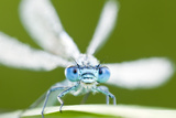 Common Blue Damselfly (Enallagma Cyathigerum), Tamar Lake, Cornwall, England, UK. June 2011 写真プリント : ロス・ホディノット