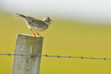Skylark (Alauda Arvensis) Perched on a Fence Post, Vocalising, Balranald Reserve, Hebrides, UK Reproduction photographique par Fergus Gill