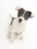 Blue-And-White Jack Russell Terrier Puppy, Scamp. 2008 Photographic Print by Mark Taylor