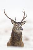 Red Deer Stag (Cervus Elaphus) Portrait in Snowy Moorland, Cairngorms Np, Scotland, UK, December Fotoprint van Mark Hamblin