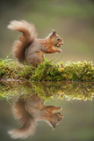 Red Squirrel (Sciurus Vulgaris) at Woodland Pool, Feeding on Nut, Scotland, UK, November Stampa fotografica di Mark Hamblin