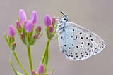 Large Blue Butterfly (Maculinea Arion) on a Common Centaury Flower, Somerset, England, UK 写真プリント : ロス・ホディノット
