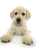 Yellow Labrador Retriever Puppy, 8 Weeks, Lying with Head Up Photographic Print by Mark Taylor