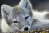 Arctic Fox (Alopex Lagopus) Portrait, Trygghamna, Svalbard, Norway, July Fotografie-Druck von de la