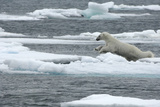 Polar Bear (Ursus Maritimus) Leaping from Sea Ice, Moselbukta, Svalbard, Norway, July 2008 Photographic Print by de la