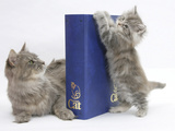 Maine Coon Mother Cat, Serafin, with Kitten Reaching with Paws on 'Your Cat' Binder Photographic Print by Mark Taylor