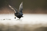 Adult Coot (Fulica Atra) Running on the Surface of a Lake, Derbyshire, England, UK, March 2010 Photographic Print by Andrew Parkinson
