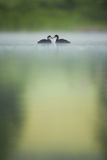 Two Young Coots (Fulica Atra) on a Still Lake at Dawn, Derbyshire, England, UK, June 2010 Photographic Print by Andrew Parkinson