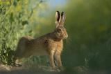 European Brown Hare (Lepus Europaeus) Stretching on Field. Hope Farm Rspb, Cambridgeshire, UK Photographic Print by Andrew Parkinson