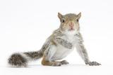 Grey Squirrel (Sciurus Carolinensis) Hand-Reared Baby Fotografisk tryk af Mark Taylor
