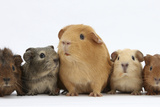 Mother Guinea Pig and Four Baby Guinea Pigs, Each a Different Colour Lámina fotográfica prémium por Mark Taylor