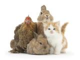 Partridge Pekin Bantam with Kitten, Sandy Netherland Dwarf-Cross and Baby Lionhead-Cross Rabbit Fotografisk tryk af Mark Taylor