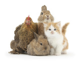 Partridge Pekin Bantam with Kitten, Sandy Netherland Dwarf-Cross and Baby Lionhead-Cross Rabbit Photographic Print by Mark Taylor