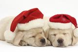 Sleeping Yellow Labrador Retriever Puppies, 8 Weeks, Wearing Father Christmas Hats Fotografie-Druck von Mark Taylor
