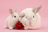 White Lop Rabbits, Adult and Baby with a Rose Fotografie-Druck von Mark Taylor
