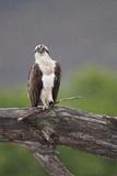 Osprey (Pandion Haliaetus) on Branch, Holding Stick, Cairngorms Np, Scotland, UK, July Reproduction photographique par Peter Cairns