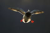 An Adult Male Mallard (Anas Platyrhynchos) Comes in to Land, Derbyshire, England, UK Photographic Print by Andrew Parkinson