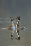 Great Crested Grebe (Podiceps Cristatus) Pair During Courtship Ritual, Derbyshire, UK, March Photographic Print by Andrew Parkinson