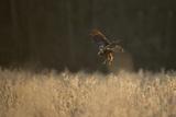 Marsh Harrier (Circus Aeruginosus) Female Landing in Reedbeds, Backlit, Norfolk, UK, April Photographic Print by Andrew Parkinson
