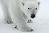 Polar Bear (Ursus Maritimus) Portrait, Svalbard, Norway, July 2008 Impressão fotográfica por de la
