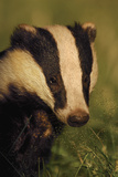 Portrait of an Adult Badger (Meles Meles), Derbyshire, UK Photographic Print by Andrew Parkinson