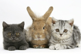 Grey Kitten and Silver Tabby Kitten with Sandy Lionhead-Cross Rabbit Photographic Print by Mark Taylor