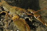 White Clawed Crayfish (Austropotamobius Pallipes) on River Bed, Viewed Underwater, River Leith, UK Fotografisk tryk af Linda Pitkin
