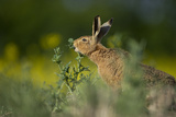 European Brown Hare (Lepus Europaeus) Feeding on Fringes of Rapeseed Field, Cambridgeshire, UK Photographic Print by Andrew Parkinson