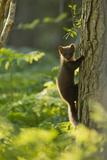 Pine Marten Juvenile, Climbing Pine Tree in Woodland, Beinn Eighe Nnr, Wester Ross, Scotland, UK Lámina fotográfica por Mark Hamblin